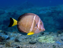 White spotted Surgeonfish taken at Sharks Cove, North sho... by Stuart Ganz 